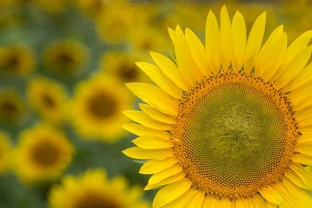 The Sunflowers