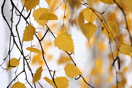Birch leaves and twigs over white