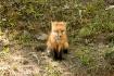 Fox Pup Watching ...
