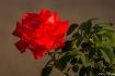 Sunset Rose