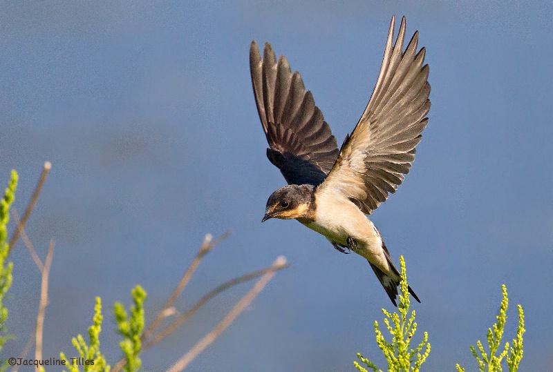 Barn Swallow - ID: 14626053 © Jacqueline A. Tilles