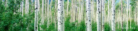 Aspens in Late August Panoramic