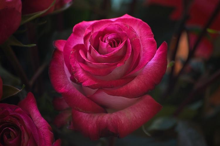 Rose 21