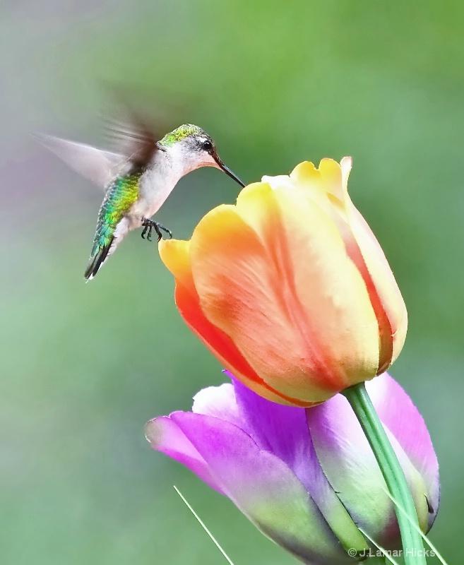Ruby Throated Humm- Bird