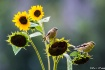 Sunflowers and Go...