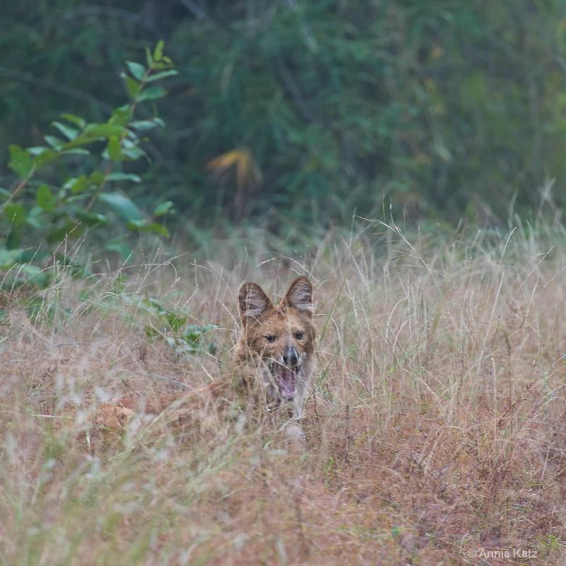 wild dog in the brush - ID: 14648667 © Annie Katz