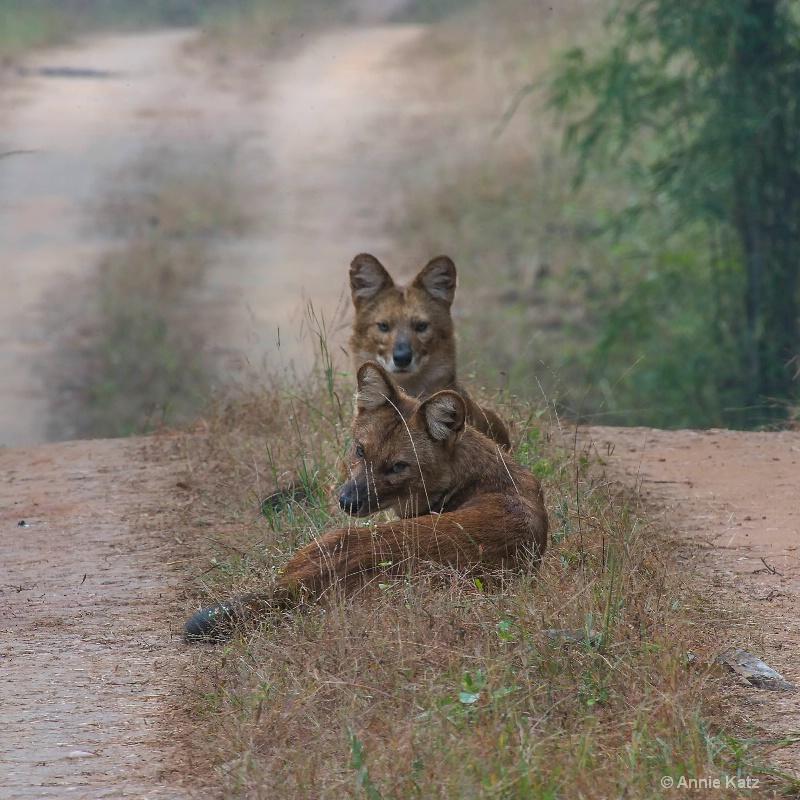 wild dogs in the road - ID: 14648669 © Annie Katz