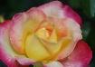 Dewtiful Rose