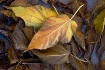 Mulberry Autumn