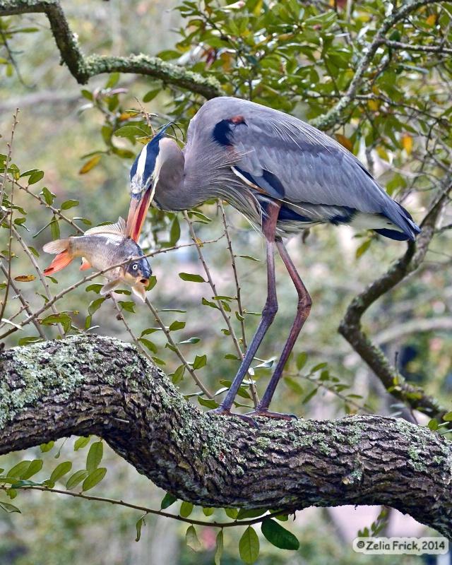 Blue Heron's BIG Catch - ID: 14664773 © Zelia F. Frick