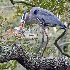 2Blue Heron's BIG Catch - ID: 14664773 © Zelia F. Frick