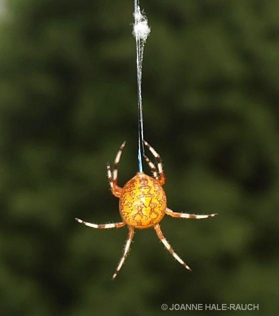 ORANGE SPIDER - ID: 14705091 © JOANNE HALE-RAUCH