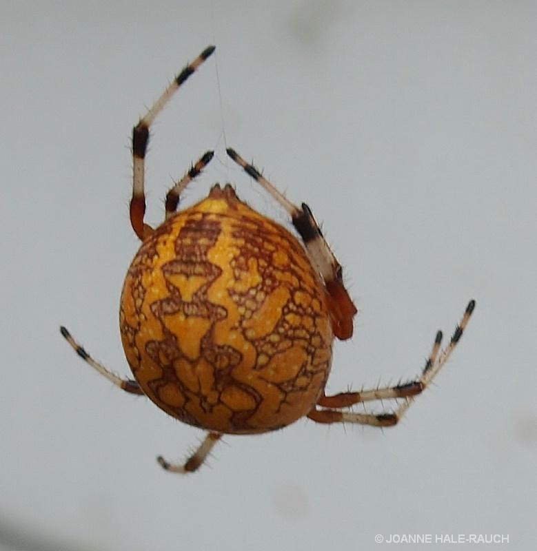 ORANGE SPIDER - ID: 14705092 © JOANNE HALE-RAUCH