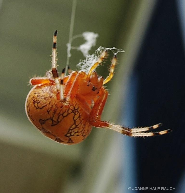 ORANGE SPIDER - ID: 14705093 © JOANNE HALE-RAUCH