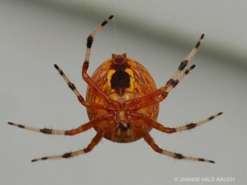 ORANGE SPIDER - ID: 14705094 © JOANNE HALE-RAUCH