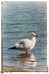 Seagull Reflecti...