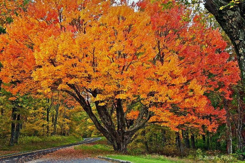 The Most Beautiful Tree on Skyland Drive - ID: 14708299 © Zelia F. Frick
