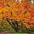 2The Most Beautiful Tree on Skyland Drive - ID: 14708299 © Zelia F. Frick