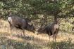 Mule Deer - Spar