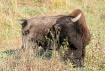 Buffalo Backscrat...
