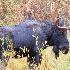 © Michael S. Couch PhotoID# 14743932: Bull Moose, Grand Teton National Park, 9.27.14