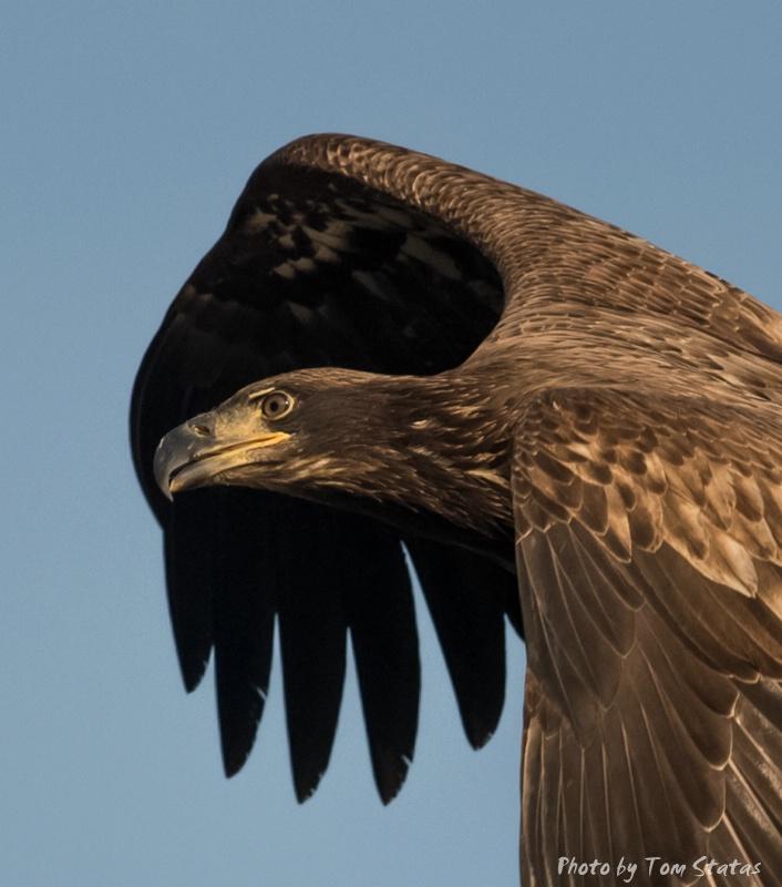 Juvenile Eagle - ID: 14744632 © Thomas  A. Statas