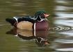 Wood Duck Quack