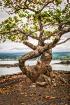 Tree on the Bay