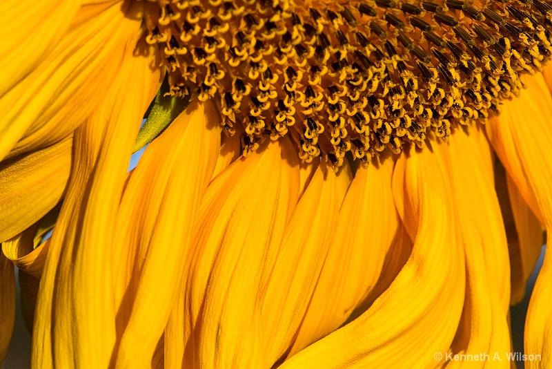 Sunday Sunflowers - ID: 14761581 © Kenneth A. Wilson