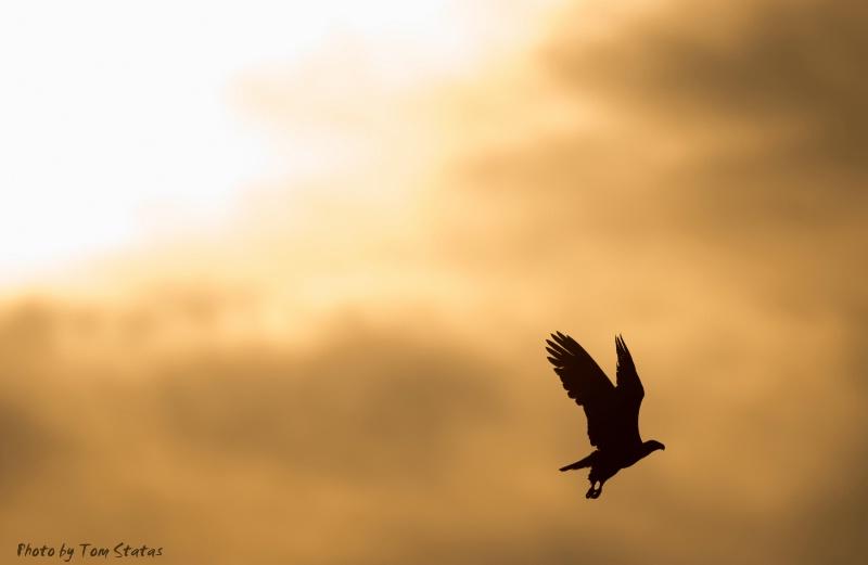 Eagle at Sunrise, by Tom Statas - ID: 14780602 © Thomas  A. Statas