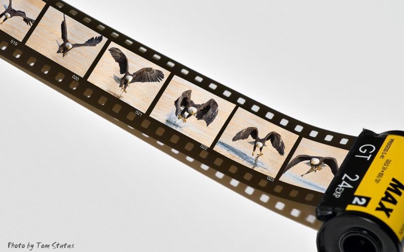 Eagles on Film? - ID: 14783403 © Thomas  A. Statas