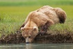 Thirsty Grizzly