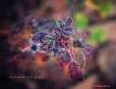 rose petal frost