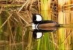 Male Hooded Merga...