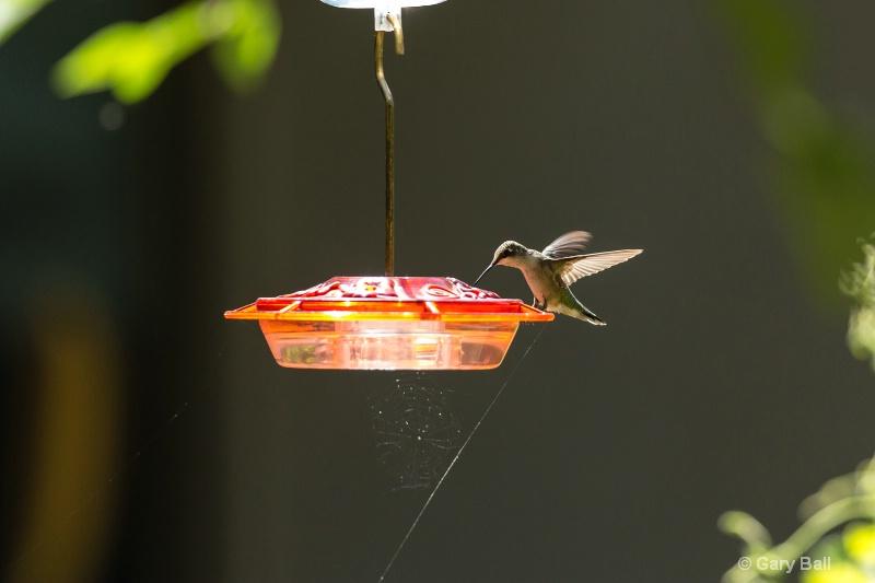 Hummingbird on feeder with Spider Web