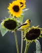 Goldfinch and Sun...