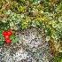 2British Grenadier Fungus and Bunch Berries - ID: 14812675 © Larry J. Citra