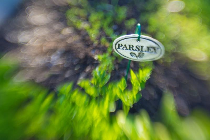 parsley -    larry citra - ID: 14814480 © Larry J. Citra