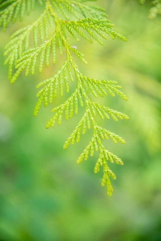 cedar -    larry citra - ID: 14814509 © Larry J. Citra