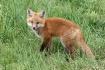 Little sweet fox