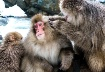Snow Monkeys, Jig...