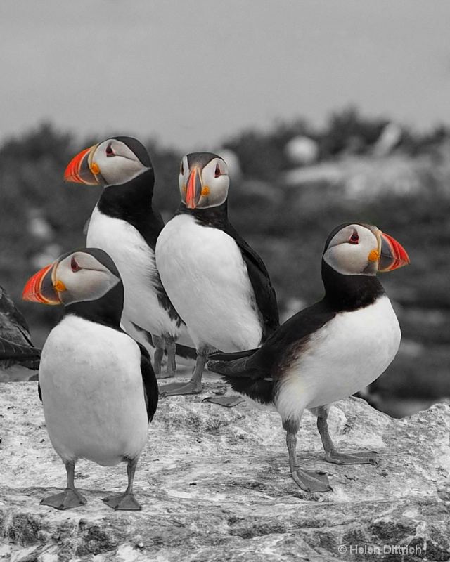 Puffin on watch