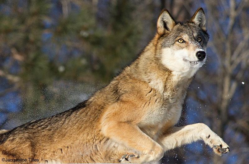 Gray Wolf - ID: 14829257 © Jacqueline A. Tilles