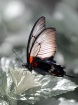 Butterfly on Ivor...