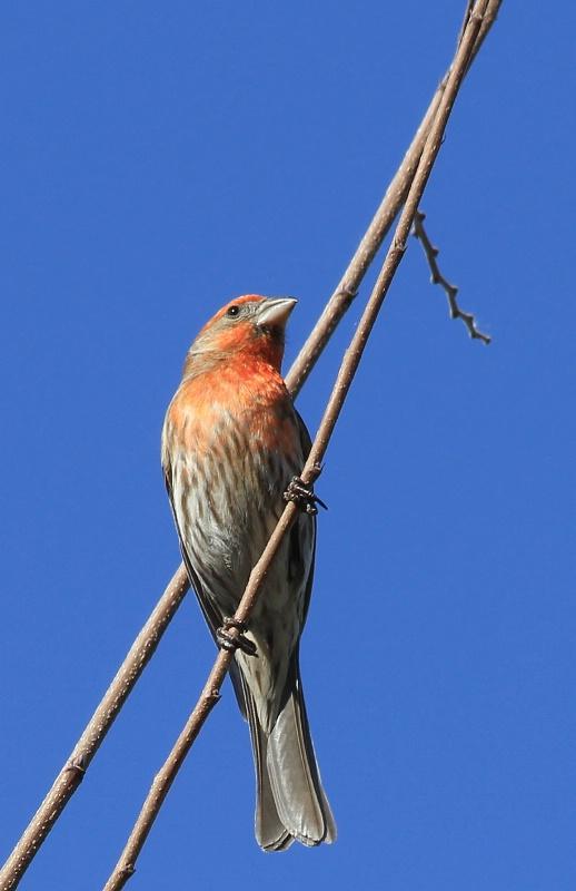 Backyard Birds:  Between Branches