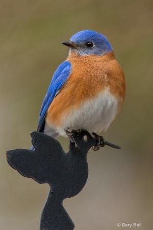 Bluebird perched