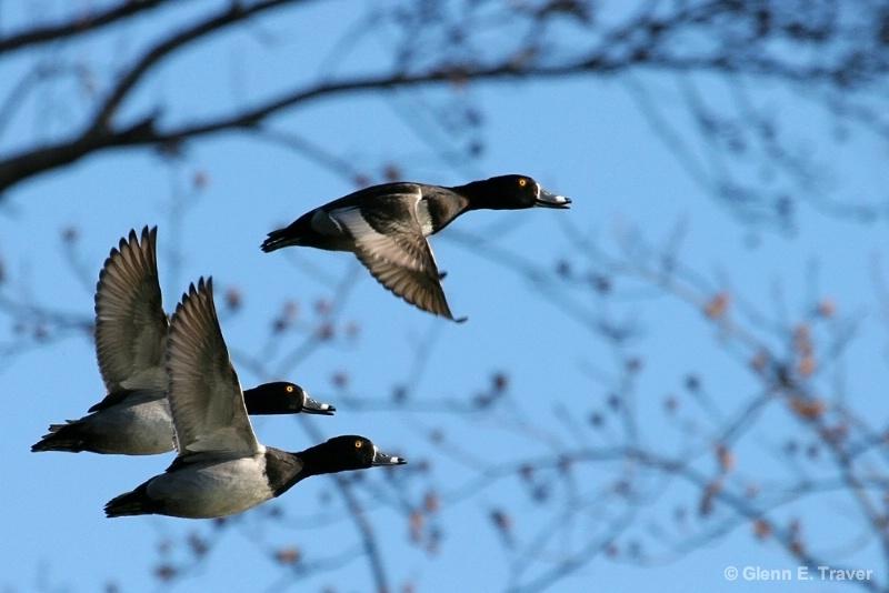 Ringnecks in Flight