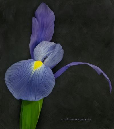Flight of the Iris