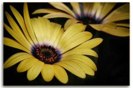 yellow african daisy