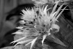 Flower (B&W)